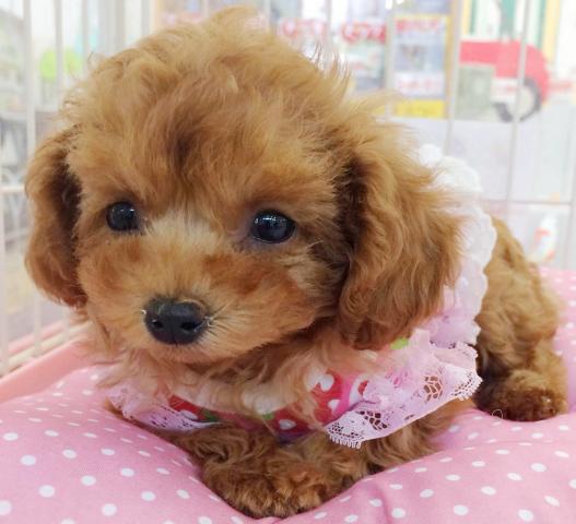 DOGHOUSE LOVEWALK ドッグハウス ラブウォーク ジョイフル本田 千葉ニュータウン店
