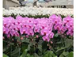富澤洋蘭園